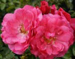 Rosa-Pink-Flower-Carpet
