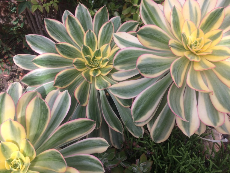 succulents in a water wise garden