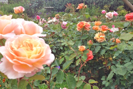 Rose Garden Mission Viejo Front Yard