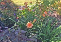 Daylilies can be drought tolerant once established and make a nice contrast in the garden.