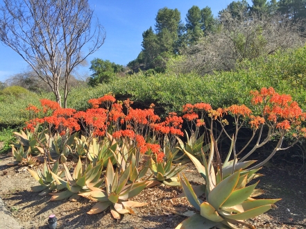 Coral Aloe are perfect in groupings. Gorgeous!