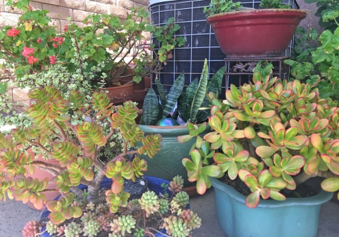 Succulents and Jade Plants in Pots