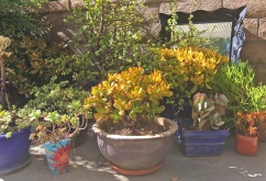 More Rainbow jade and Dwarf Jade Plant plus Elephant Food Portulacaria in the background.