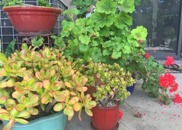 Succulents and Geraniums in Pots