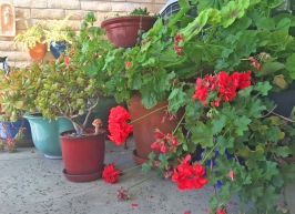 Geraniums and Succulents Orange County